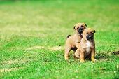 picture of belgian shepherd  - young puppies belgian shepherd malinois in field - JPG