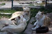 White Lions