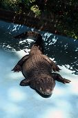 picture of alligators  - Alligator in the Zoo park pool - JPG