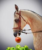 Horse chooses red apple
