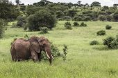 Huge African Elephant Bull In The Tarangire National Park, Tanzania