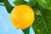 stock photo of tangerine-tree  - Ripe tangerines on a tree branch. Blue sky on the background.