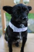 picture of mongrel dog  - mongrel black dog wearing green cloth sitting on wooden chair - JPG