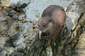 Otter munching fish