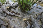 Crocodiles near the pond