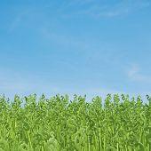 Dollar Grass