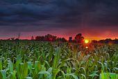 Cornfied At Sunset