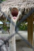 Ostrich head in full face with open beak