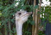 Ostrich head in profile