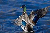 image of male mallard  - Mallard Duck on the Water with Outstretched Wings - JPG