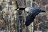 Canada Goose Flying Over A Winter River