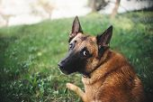 Belgian Shepherd Dog, Portrait