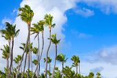 Coconut Palm Trees Over Bright Cloudy Blue Sky