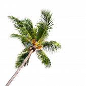 Single Coconut Palm Tree Isolated On White