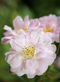 Many Petaled Pink Rose Close Up