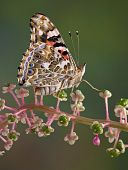 picture of pokeweed  - A painted lady butterfly is perched on a branch of pokeweed - JPG