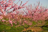 Field of Blooming Peach Flowers