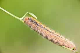 image of eggar  - Grass Eggar Caterpillar eating on a small branch.  - JPG