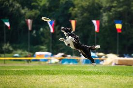stock photo of frisbee  - Border collie dog catching frisbee in jump in summer - JPG