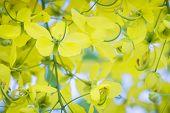 image of cassia  - Beautiful yellow flower Golden shower  - JPG