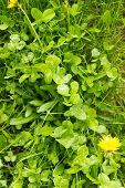 foto of weed  - Green clover weeds and dandelions growing in the undergrowth - JPG