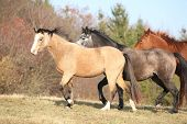 pic of running horse  - Batch of horses running in autumn together - JPG