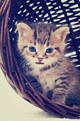 picture of yellow tabby  - tabby kitten in a basket in a retro style - JPG
