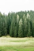 picture of ecosystem  - Healthy coniferous trees in forest of old spruce fir larch and pine trees in wilderness area with alpine pasture in the foreground - JPG