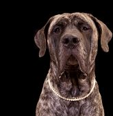 image of english-mastiff  - Very large English Mastiff dog wearing pearls - JPG