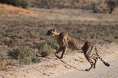 pic of cheetah  - A cheetah cross the road at Kgalagadi National Park South Africa - JPG