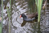 image of weed  - A common moorhen swimming through some weeds - JPG