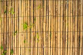 pic of climber plant  - Bamboo Wall With Growing Plants for background - JPG