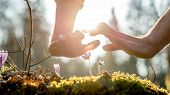 stock photo of fragile  - Two protective hands above small fragile mauve wild flowers growing from the fertile soil in spring under the morning sunlight concept of ecology and environment close-up. ** Note: Shallow depth of field - JPG