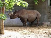 Rhino, Rhinoceros  At Berlin Zoo