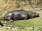 Pygmy Hippopotamus (Choeropsis Liberiensis) Sleeping