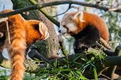picture of zoo  - Two red pands eating leaves in a tree at a zoo in England - JPG