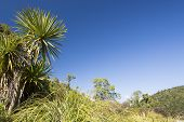 foto of australie  - The cabbage tree is one of the most distinctive trees in the New Zealand landscape - JPG