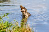 Постер, плакат: Cuban Crocodile crocodylus Rhombifer Eats Fish