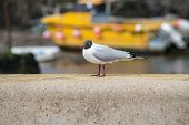 stock photo of anglesey  - A black headed gull on a wall next to a beach on Anglesey Wales  - JPG