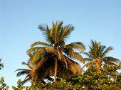 Evening Palm Tops