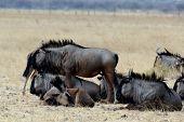 stock photo of wildebeest  - wild Wildebeest Gnu grazing Etosha Namibia true wildlife - JPG