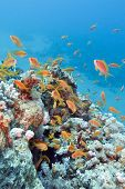 pic of shoal fish  - colorful coral reef with shoal of fishes scalefin anthias in tropical sea - JPG