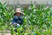 picture of japanese woman  - An elderly Japanese woman working in her field growing corn - JPG