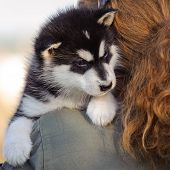stock photo of husky sled dog breeds  - cute puppy of alaskan malamute dog in hands of owner - JPG