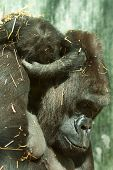 picture of gorilla  - cute little baby gorilla asleep on mothers back - JPG