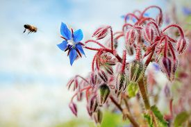 image of borage  - A bee flies to a flower of borage - JPG