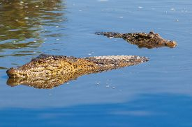 stock photo of crocodile  - Floating pair of cuban crocodiles  - JPG