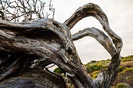 stock photo of juniper-tree  - Trunk Texture of Gnarled Juniper Tree Shaped By The Wind at El Sabinar - JPG