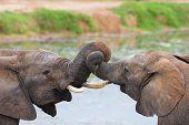 Jousling Elephants