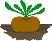 Turnip Growing In Garden - Vector Illustration